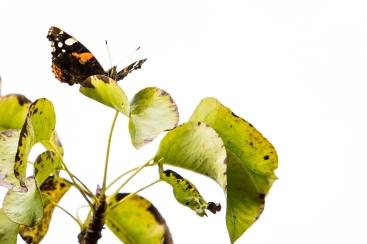 Butterfly on Pear Tree