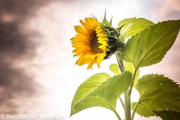 sunflower 12