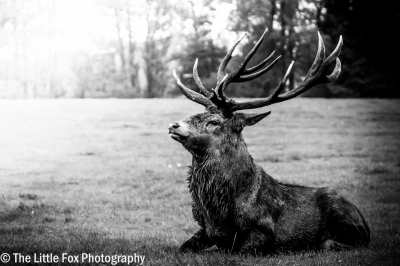 Mighty Stag
