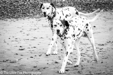 Double the Dalmations