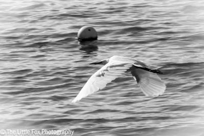 Little Egret at Sandbanks