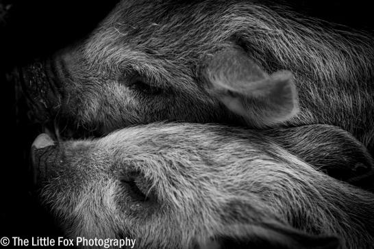 Resting Piglets