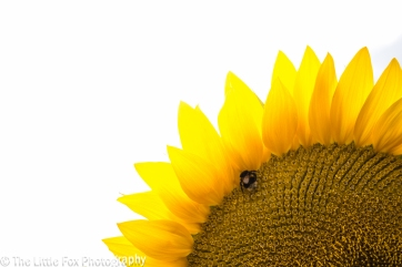 sunflower 11